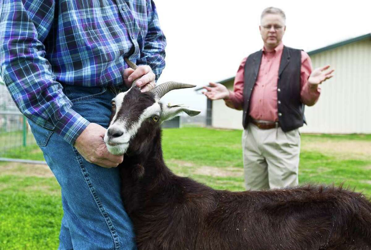 A reluctant Goat No. 21 makes the best of her photo session as professor Mark Westhusin, right, describes research going on at Texas A&M into