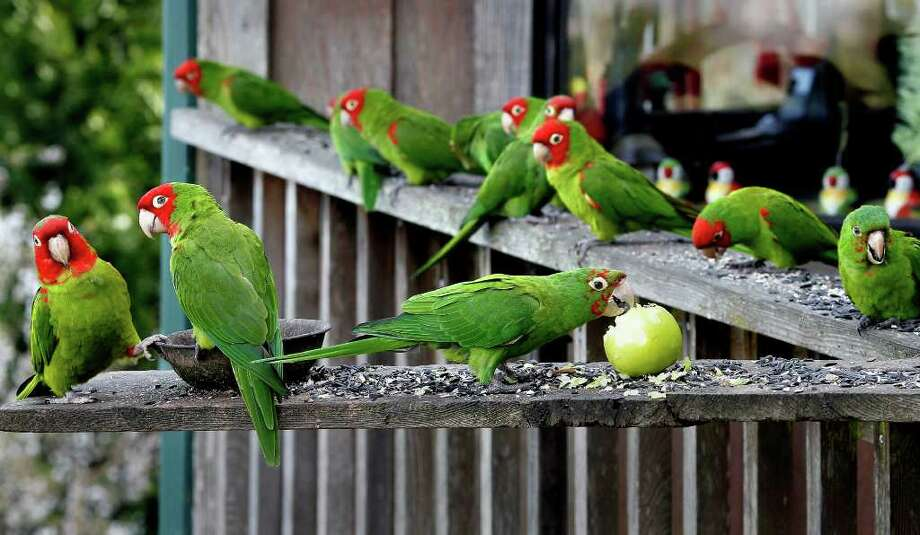 Parrots stop for chow at the home of Joe Sulley in Brisbane, Calif. The famous fowl of San Francisco's Telegraph Hill have joined the flight to the suburbs. Photo: Brant Ward / ONLINE_YES