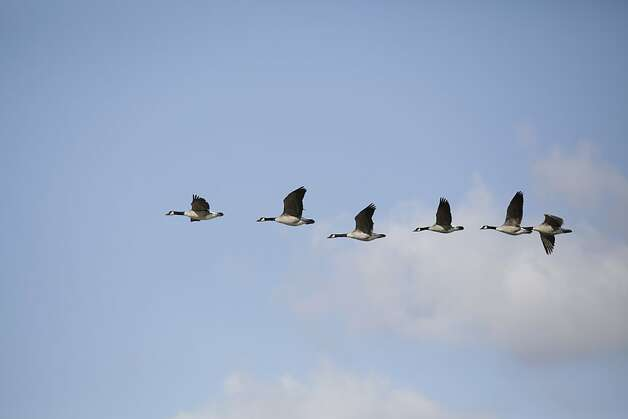 A skein of geese is seen flying above the salt ponds on Monday, February 27, 2012 in Redwood City, Calif. Photo: Lea Suzuki, The Chronicle