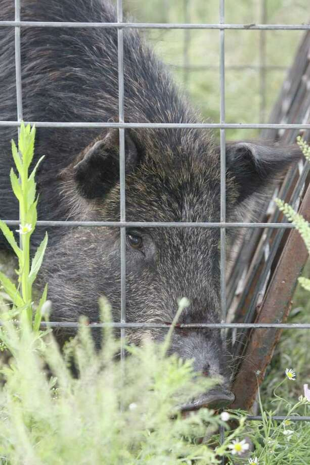 With a population estimated at more than 2 million, feral hogs arguably are the most high profile of a highly destructive invasive species in Texas. But the state is home to hundreds of invasives that do billions of dollars of damage each year. / handout email
