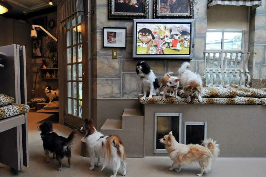 Dogs congregate near the television in the dog room of Michele Riggi's home on Tuesday Jan. 31, 2012 in Saratoga Springs, NY. (Philip Kamrass / Times Union )