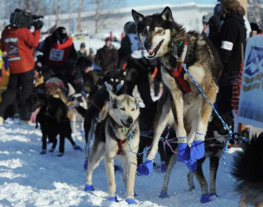 A sled dog leaps as it tugs on the gang line during the official start of the Iditarod Trail Sled Dog Race in Willow, Alaska, on Sunday, March 4, 2012. Photo: AP