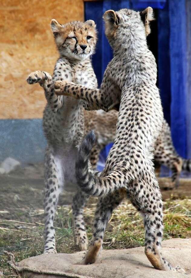 Two  young cheetahs  (Acinonyx jubatus)  play in their enclosure in the  zoo in Neuwied , Germany, Monday March 5, 2012.  (AP Photo/dapd/ Tim Schulz) Photo: Tim Schulz, Associated Press