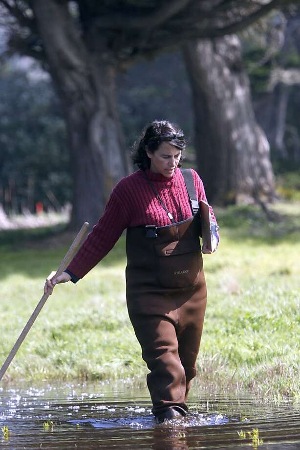 Lisa Wayne, Natural Areas Program Director at S. F. Recreation and Park, wades through the wetlands inside of Sharp Park Golf Course searching for California Red-legged frogs and eggs in Pacifica, Calif., on Monday, March 21, 2011. Photo: Thomas Levinson, The Chronicle