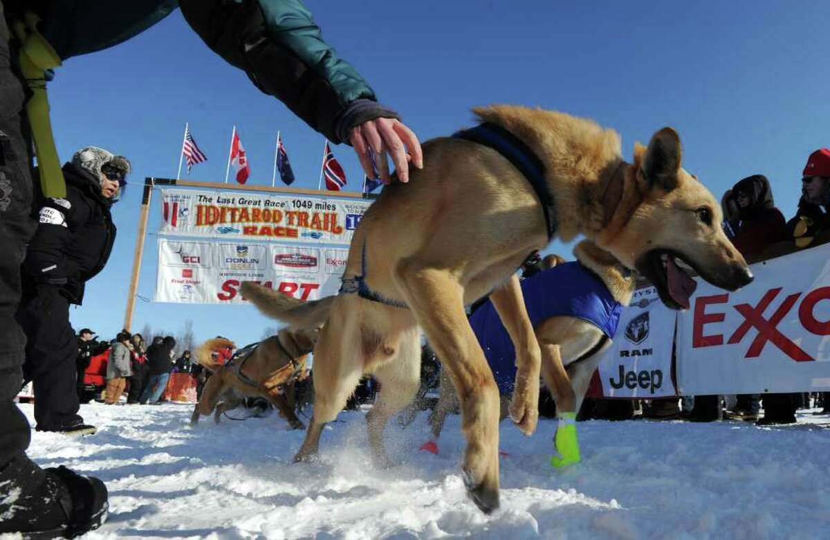 A leader in Pat Moon's dog team tugs at its harness during the official start of the Iditarod Trail Sled Dog Race in Willow, Alaska, on Sunday, March 4, 2012.