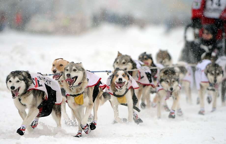 Aliy Zirkle, of Two Rivers, Ak.,  drives her dogs during the ceremonial start of the Iditarod Trail Sled Dog Race, Saturday, March 3, 2012 in Archorage, Ak. (AP Photo/Anchorage Daily News, Bob Hallinen) Photo: Bob Hallinen, Associated Press