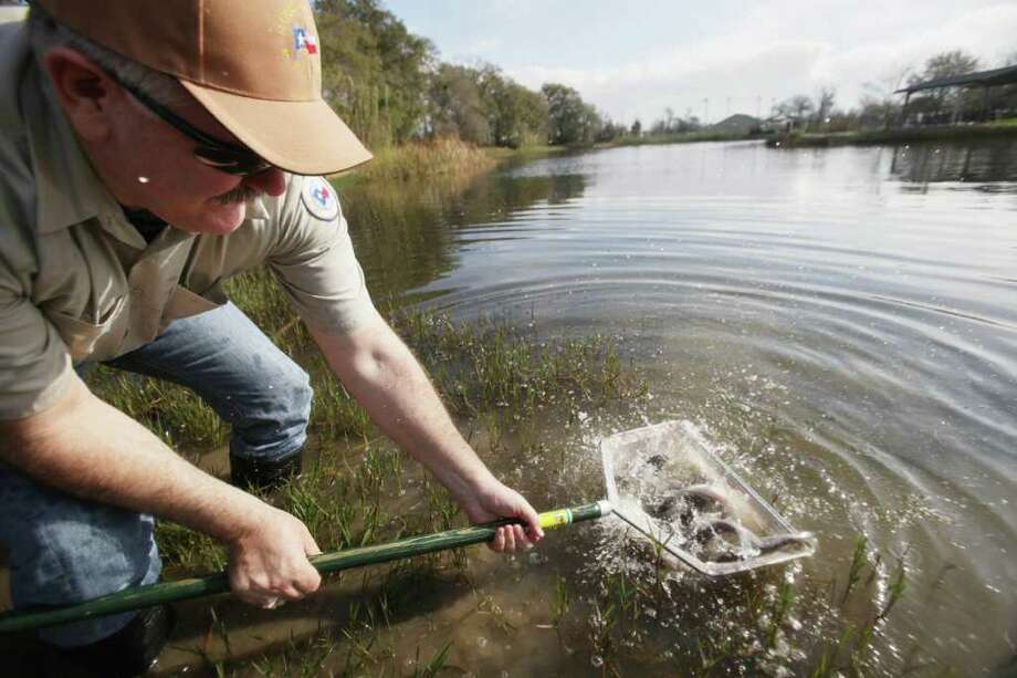 Commissioner R. Jack Cagle releases Florida hybrid largemouth bass into the lake as Precinct 4 restocks Bane Park Lake which houses catfish, bass, and trout on Tuesday, Feb. 21, 2012, in Houston.  Precinct 4 asks anglers to catch and release the bass as part of the county's efforts to keep an active and living ecological system in the lake.  ( Mayra Beltran / Houston Chronicle ) Photo: Mayra Beltran / © 2012 Houston Chronicle
