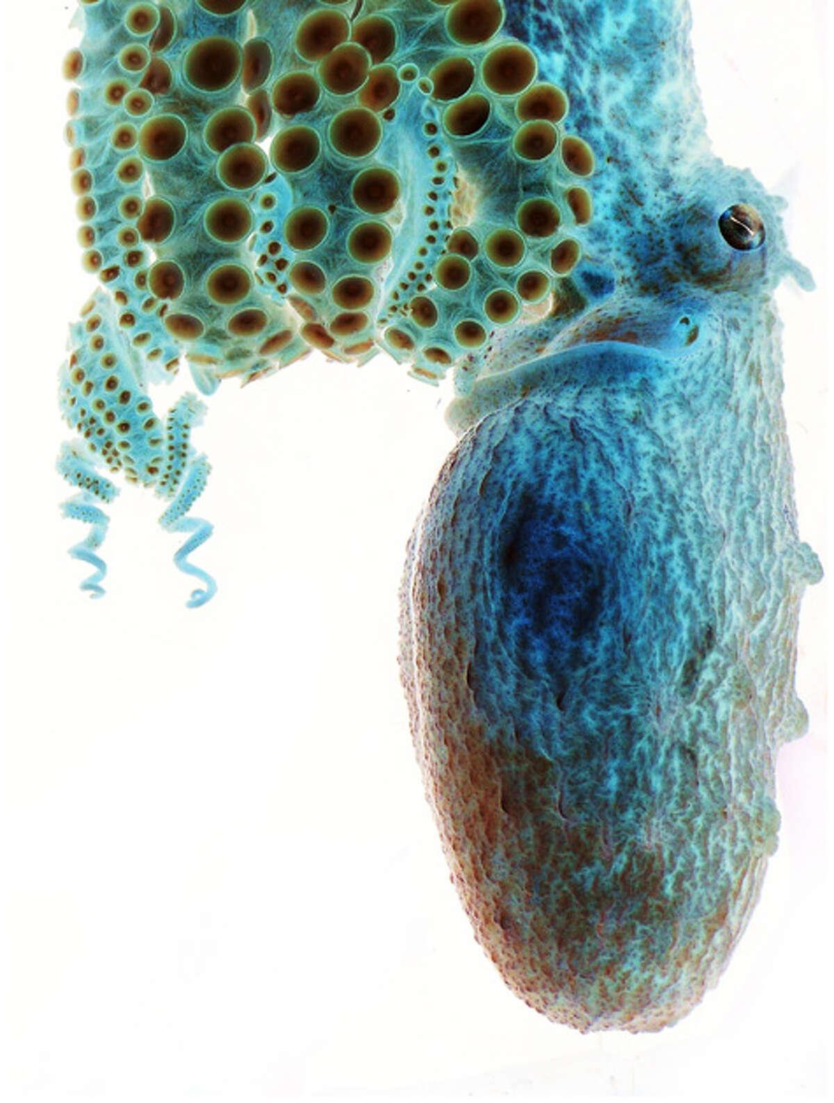 Negative image of an octopus Sarah Jackson (Clanton, Alabama)Photographed February 2009, Atlanta, Georgia