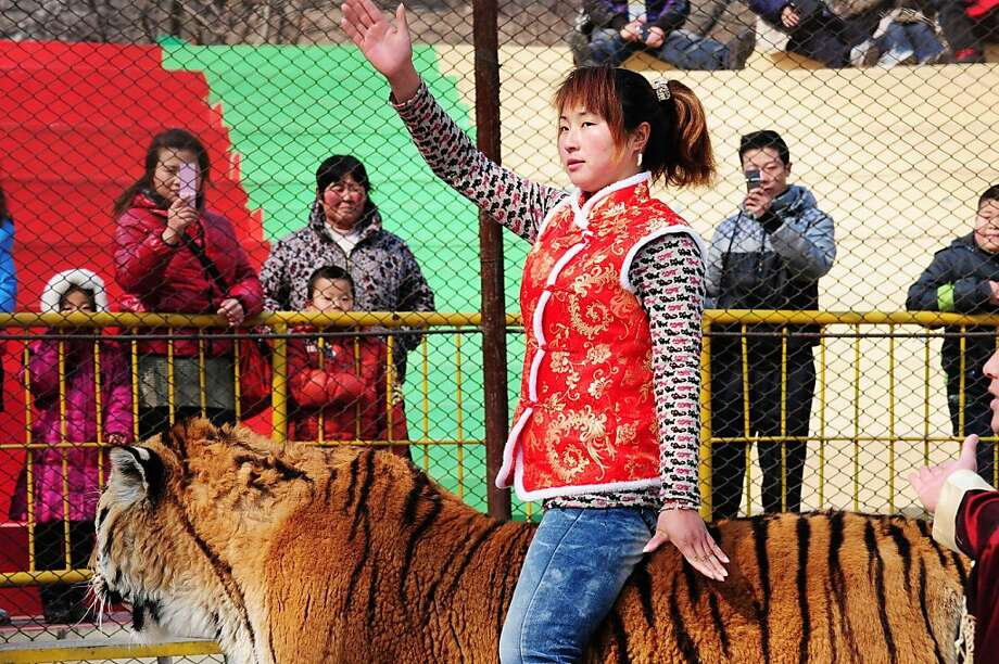 Animal trainer Li Kuiyan rides a Siberian tiger to entertain visitors at the Forest Wild Animal World in Qingdao, northeast China's Shandong province on March 6, 2012. The largest wild cat in the world, the Siberian Tiger is also one of the most endangered, known to inhabit the Boreal forests in far eastern Asia residing largely in Russia but also reported in China and North Korea.    CHINA OUT      AFP PHOTO (Photo credit should read STR/AFP/Getty Images) Photo: Str, AFP/Getty Images