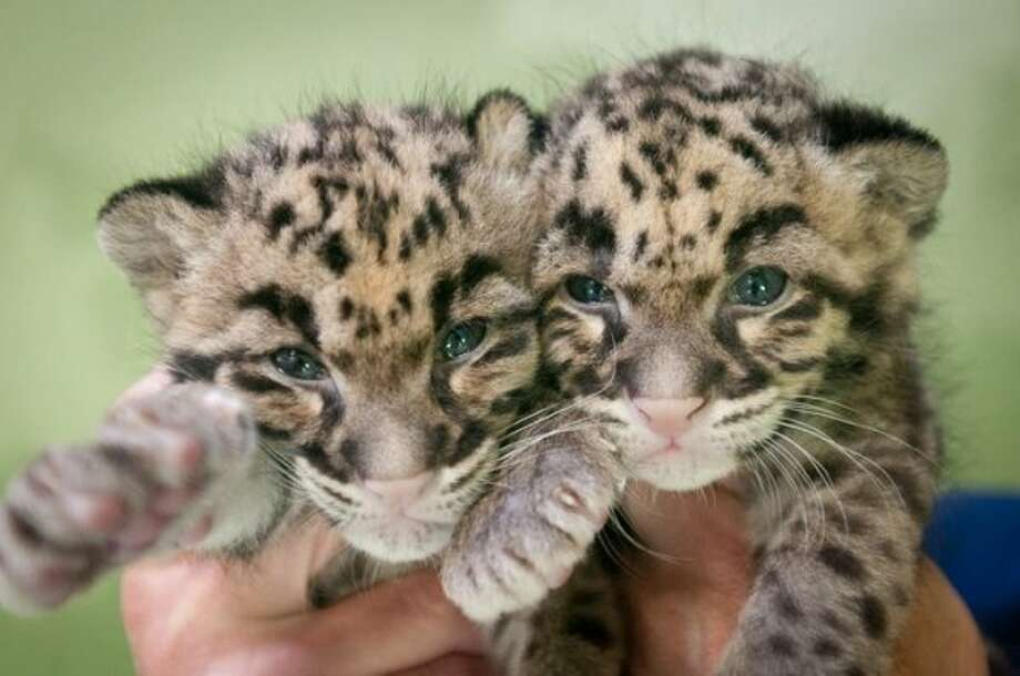 A set of clouded leopard cubs at the Point Defiance Zoo & Aquarium in Tacoma in 2011.