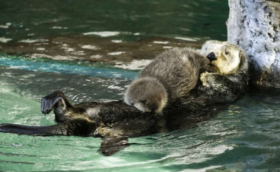 Aniak, a sea otter at the Seattle Aquarium, swims with her yet-to-be named daughter on her chest, Thursday, Jan. 26, 2012, in Seattle. The baby was born on Jan. 14, 2012 and will be named in February, after the public votes on a selection of names prepared by the Aquarium staff. (Ted S. Warren)