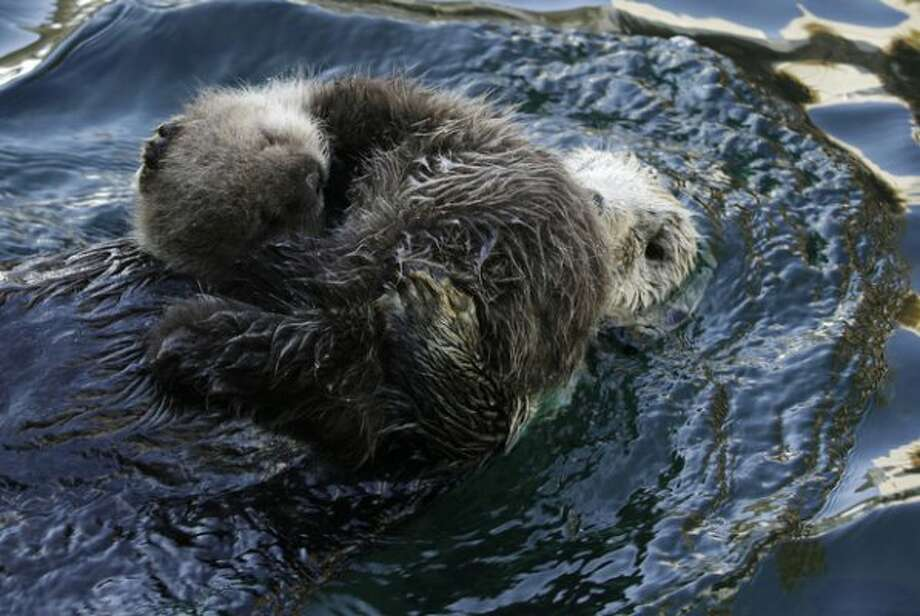 Aniak, a sea otter at the Seattle Aquarium, swims as her yet-to-be named daughter naps on her chest, Thursday, Jan. 26, 2012, in Seattle. The baby was born on Jan. 14, 2012 and will be named in February, after the public votes on a selection of names prepared by the Aquarium staff.  (Ted S. Warren)