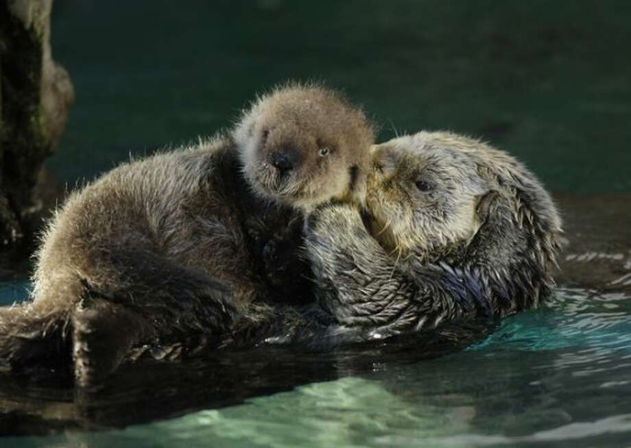 Aniak, right, a sea otter at the Seattle Aquarium, swims with her yet-to-be named daughter, Thursday, Jan. 26, 2012, in Seattle. The baby was born on Jan. 14, 2012 and will be named in February, after the public votes on a selection of names prepared by the Aquarium staff.  (Ted S. Warren)