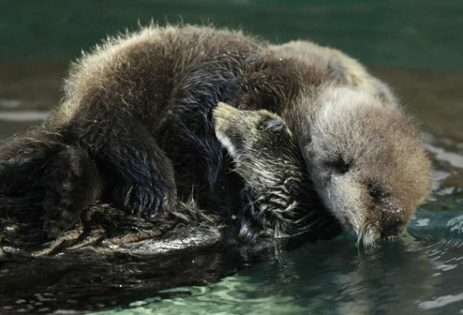 A baby sea otter at the Seattle Aquarium dips her face close to the water,  Thursday, Jan. 26, 2012, as she rides on the chest of her mother, Aniak, in Seattle. The baby was born on Jan. 14, 2012 and will be named in February, after the public votes on a selection of names prepared by the Aquarium staff. (Ted S. Warren)