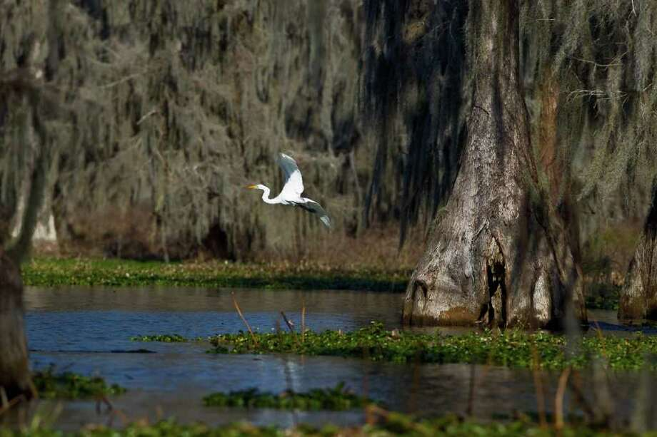 A great white heron flies at the Cypress Island Preserve at Lake Martin, La., home to one of the country's largest breeding colonies of wading birds. Photo: Nick De La Torre / © 2012  Houston Chronicle