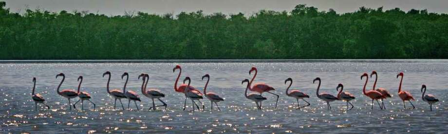 A flock of 19 flamingos crosses a shallow-water mud flat on Lake Ingraham in Everglades National Park on February 7, 2012. (David Walters/Miami Herald/MCT) Photo: David Walters / Miami Herald