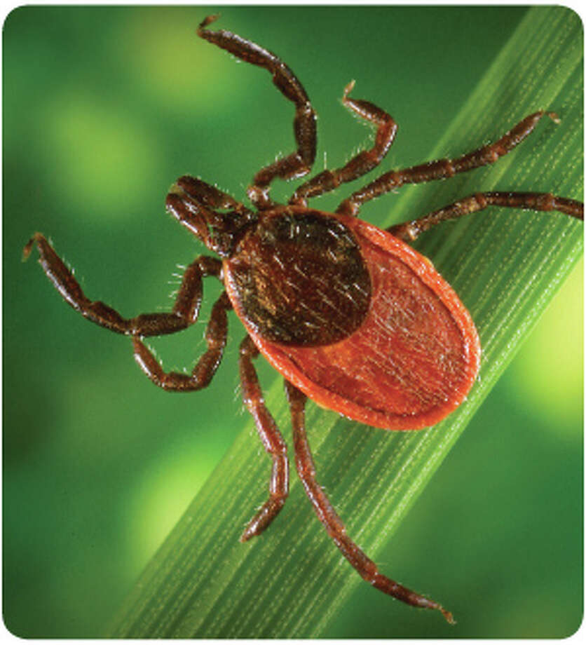 The natural pesticide to control ticks is made of the F52 strain of the strain was tested on residential properties in northwestern Connecticut and found up to 74 percent fewer ticks after treatment. Photo: Contributed Photo, ST / Westport News contributed
