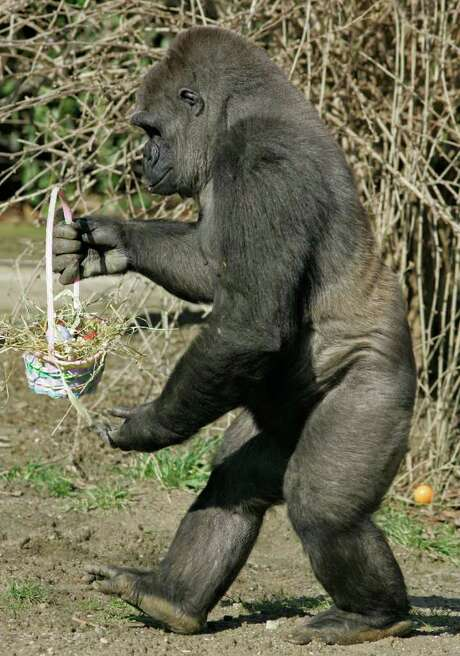 A gorilla carries an Easter basket filled with eggs and treats at the Cincinnati Zoo, Thursday, March 20, 2008, in Cincinnati. Photo: Al Behrman, AP / AP