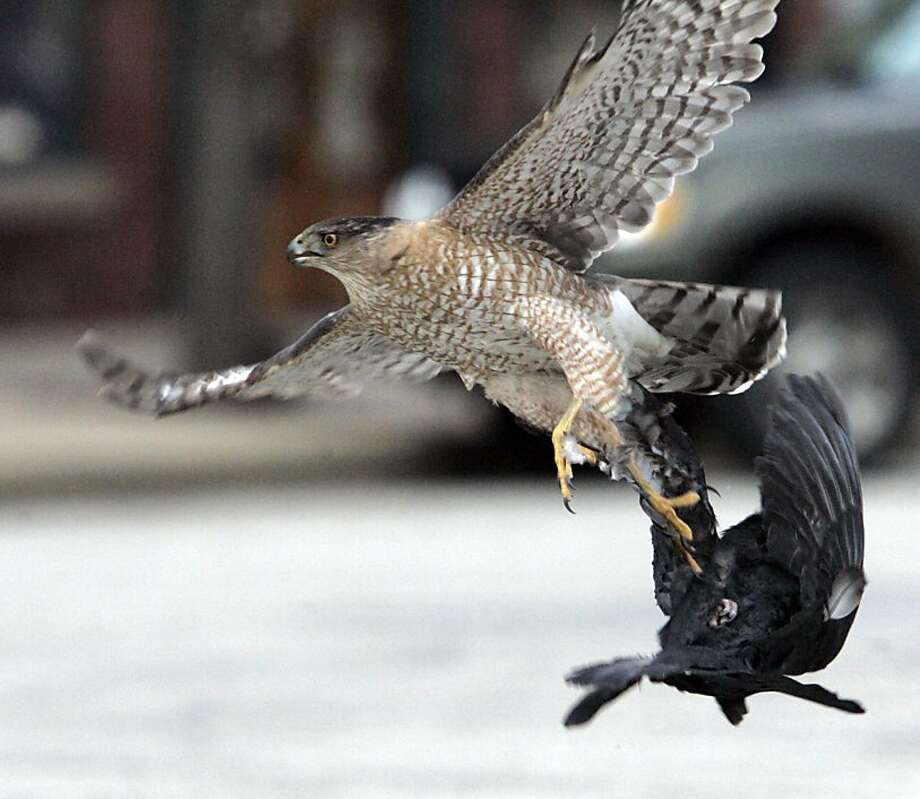 The one that got away: Things look pretty grim for a pigeon in downtown LaPorte, Ind., but the hawk lost its grip, allowing its prey to escape.