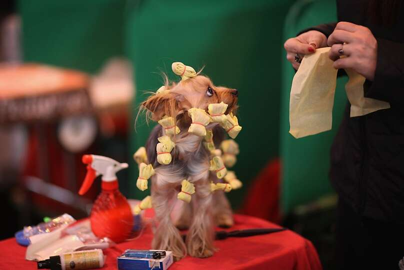A Yorkshire Terrier has it's hair done on a grooming table on Day one of Crufts at the Birmingham NE