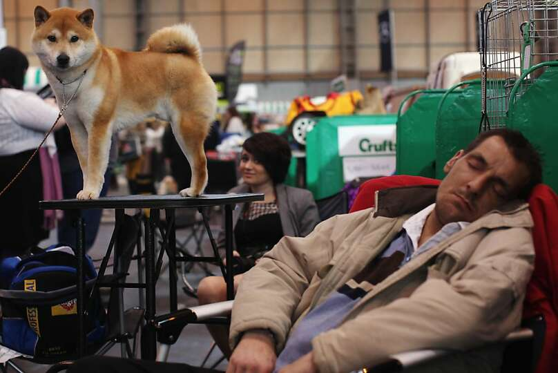 A 'Japanese Shiba Inu' stands on a grooming table beside a man sleeping on day one of Crufts at the