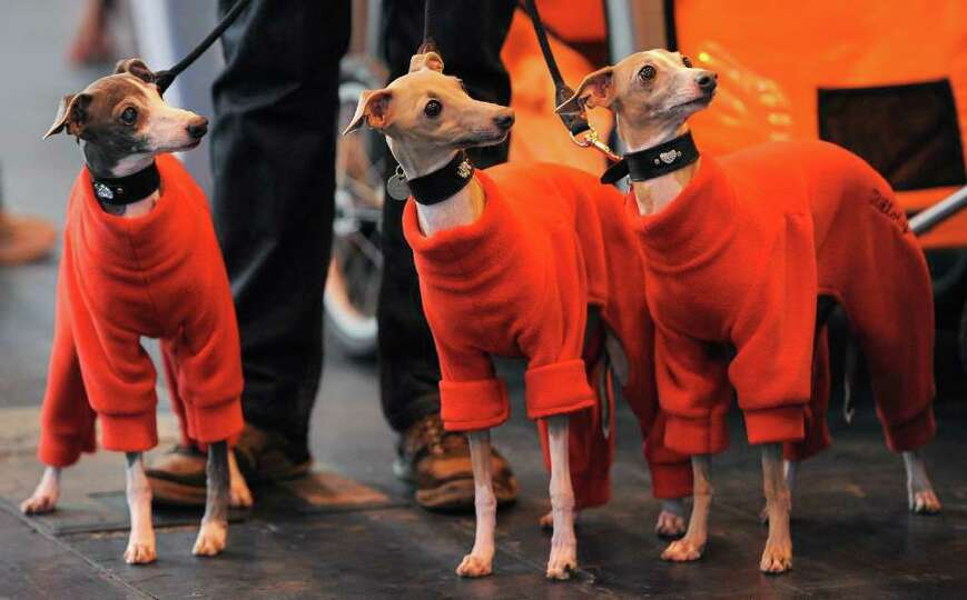 Italian Greyhounds arrive on the first day of the Crufts dog show in Birmingham, in central England