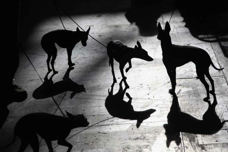 English Toy Terriers are silhouetted against the floor on Day one of Crufts at the Birmingham NEC Arena on March 8, 2012 in Birmingham, England. Photo: Dan Kitwood, Getty Images / 2012 Getty Images