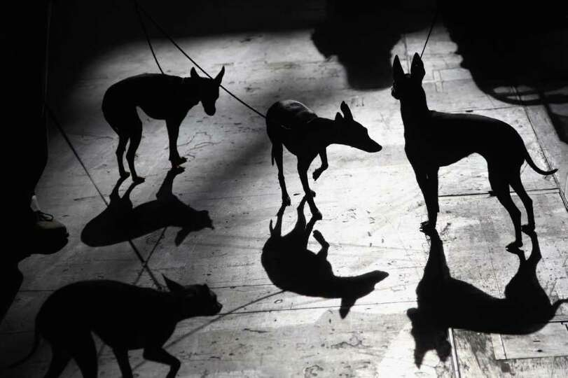 English Toy Terriers are silhouetted against the floor on Day one of Crufts at the Birmingham NEC Ar