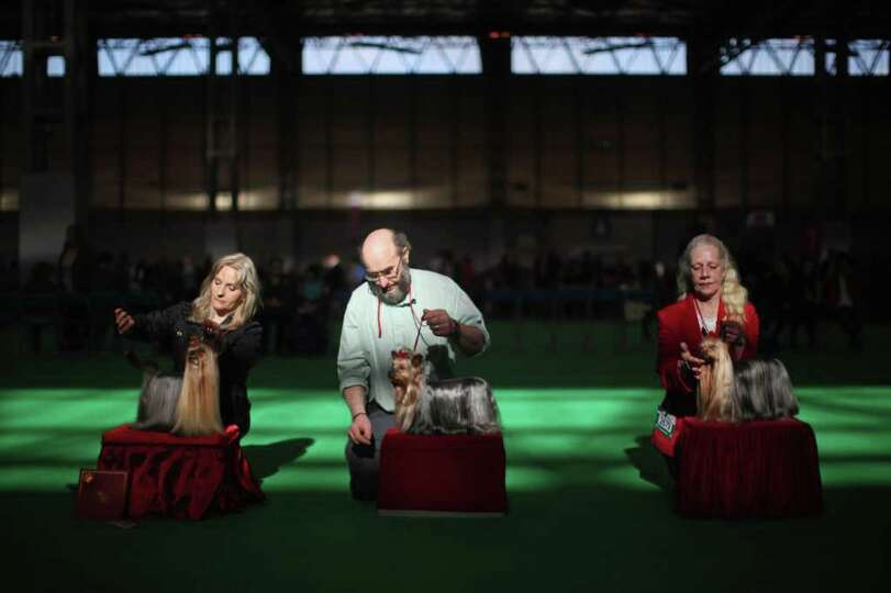 Yorkshire Terrier owners show their dogs in the ring on Day one of Crufts at the Birmingham NEC Aren