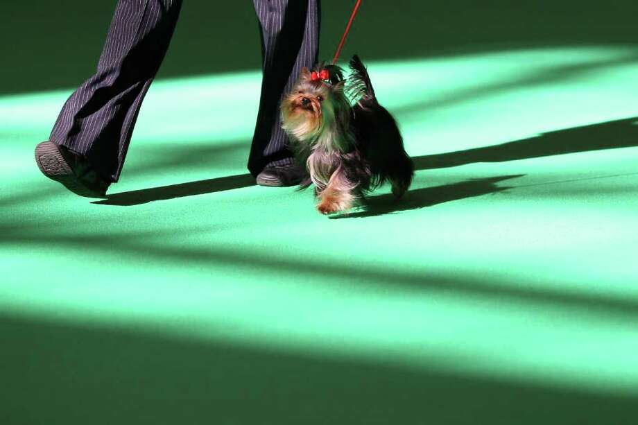 A dog owner parades his Yorkshire Terrier in the ring on Day one of Crufts at the Birmingham NEC Arena on March 8, 2012 in Birmingham, England. Photo: Dan Kitwood, Getty Images / 2012 Getty Images