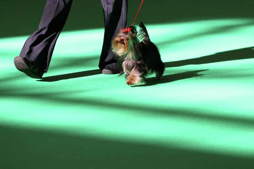 A dog owner parades his Yorkshire Terrier in the ring on Day one of Crufts at the Birmingham NEC Are