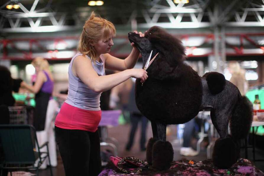 Linzi Johnson trims her Standard Poodle Pheope on Day one of Crufts at the Birmingham NEC Arena on M