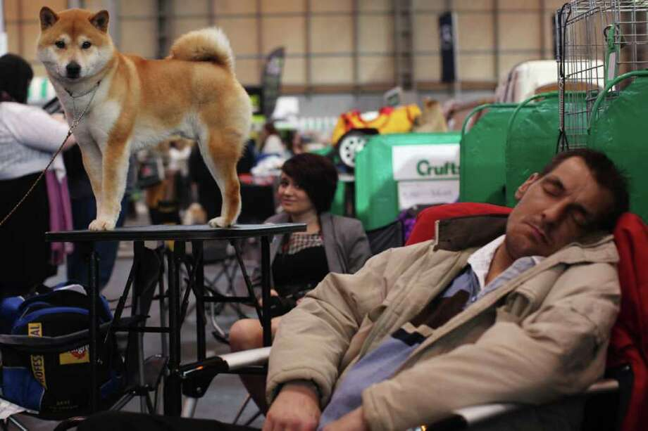 A 'Japanese Shiba Inu' stands on a grooming table beside a man sleeping on day one of Crufts at the Birmingham NEC Arena on March 8, 2012 in Birmingham, England. Photo: Dan Kitwood, Getty Images / 2012 Getty Images
