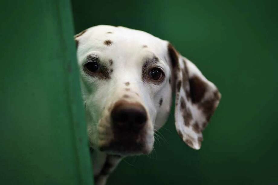 A Dalmation sits in it's kennel on Day one of Crufts at the Birmingham NEC Arena on March 8, 2012 in Birmingham, England. Photo: Dan Kitwood, Getty Images / 2012 Getty Images
