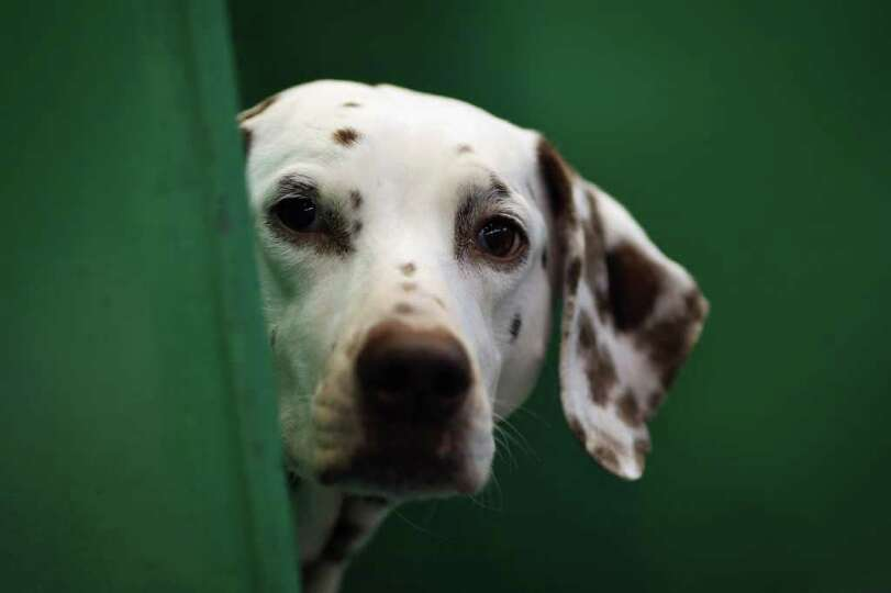 A Dalmation sits in it's kennel on Day one of Crufts at the Birmingham NEC Arena on March 8, 2012 in