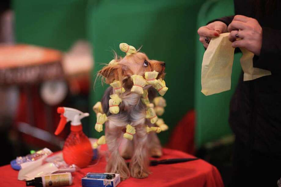 A Yorkshire Terrier has it's hair done on a grooming table on Day one of Crufts at the Birmingham NEC Arena on March 8, 2012 in Birmingham, England. Photo: Dan Kitwood, Getty Images / 2012 Getty Images