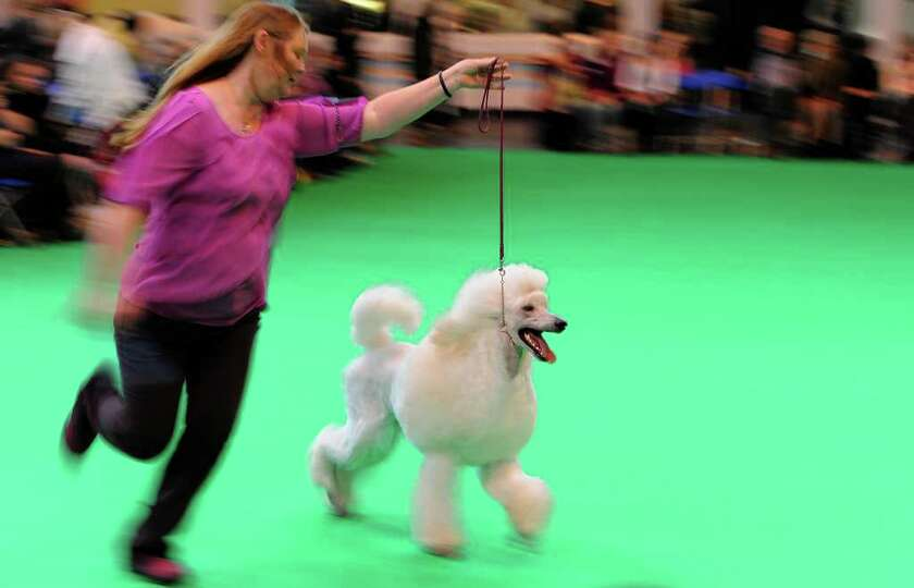 A Standard Poodle dog is paraded on the first day of the Crufts dog show in Birmingham, central Engl