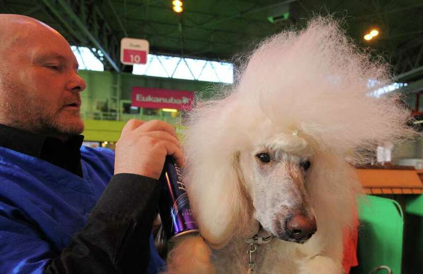 A man sprays hair spray on his Standard Poodle dog at the Crufts dog show in Birmingham, in central
