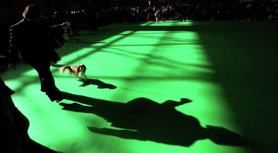 A Cavalier King Charles Spaniel dog is exhibited at the Crufts dog show in Birmingham, central England, on March 8, 2012. Photo: ANDREW YATES, AFP/Getty Images / AFP