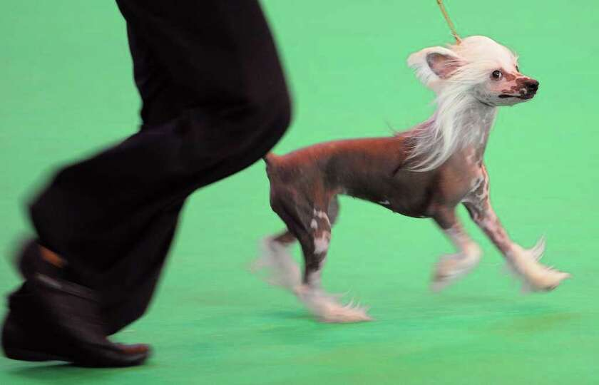 A Chinese Crested dog performs at the Crufts dog show in Birmingham, in central England on March 8,