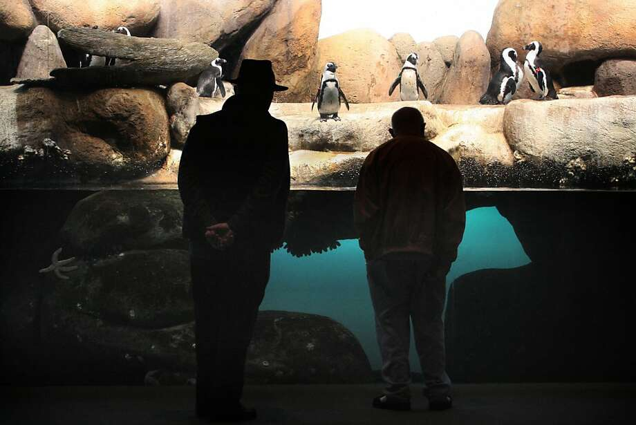 Penguins being viewed at the California Academy of Sciences' penguin exhibit in San Francisco Calif., on Wednesday, March 7, 2012.  Pyjama sharks will eventually be placed with the penguins in their exhibit. Photo: Liz Hafalia, The Chronicle