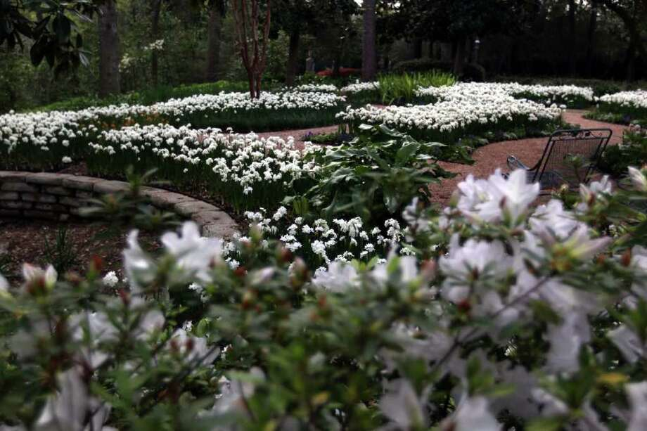 The heady fragrance of 'Ziva' paperwhites fills the Bulb Garden at Rienzi this week. The 4.4-acre estate is on the River Oaks Garden Club's 77th Annual Azalea Trail Friday-Sunday. Photo: Johnny Hanson / © 2012  Houston Chronicle