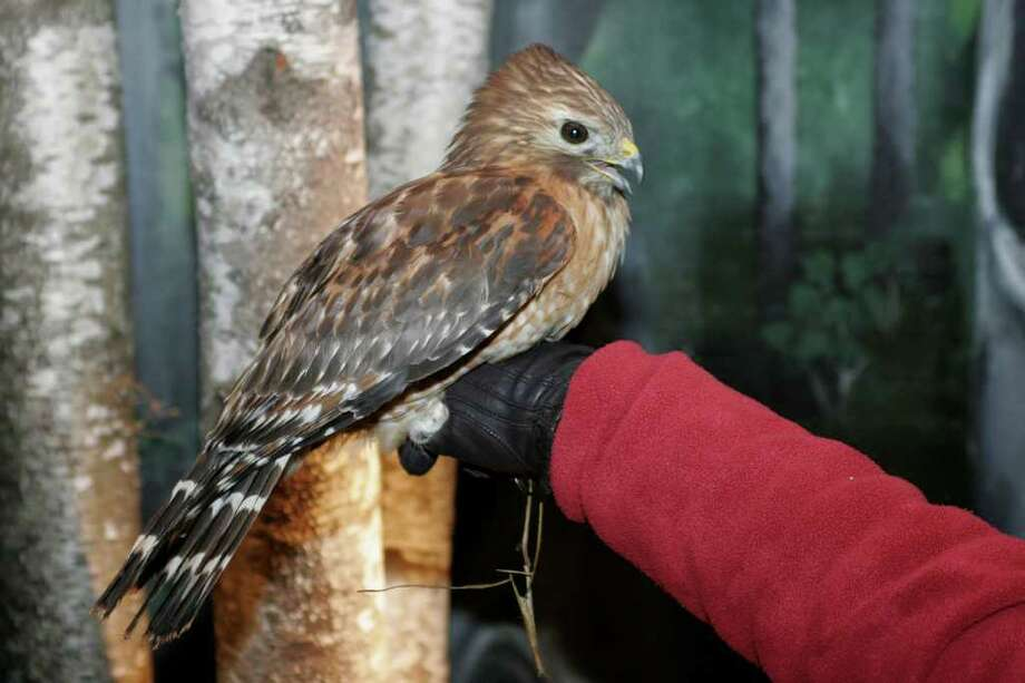 This red-shouldered hawk was caught Friday by a falconer from the U.S. Dept. of Agriculture after officials received several reports of people being attacked by the aggressive raptor or its mate. Photo: Contributed Photo/Paul Fusco/CT
