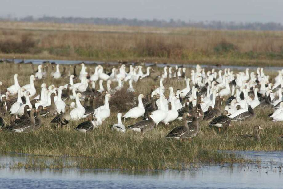 A drought-caused cutoff of Colorado River water used to irrigate rice crops means as much as 60,000 acres of habitat crucial to millions of wintering waterfowl will not be available to the birds this year. Photo: Shannon Tompkins / Houston Chronicle