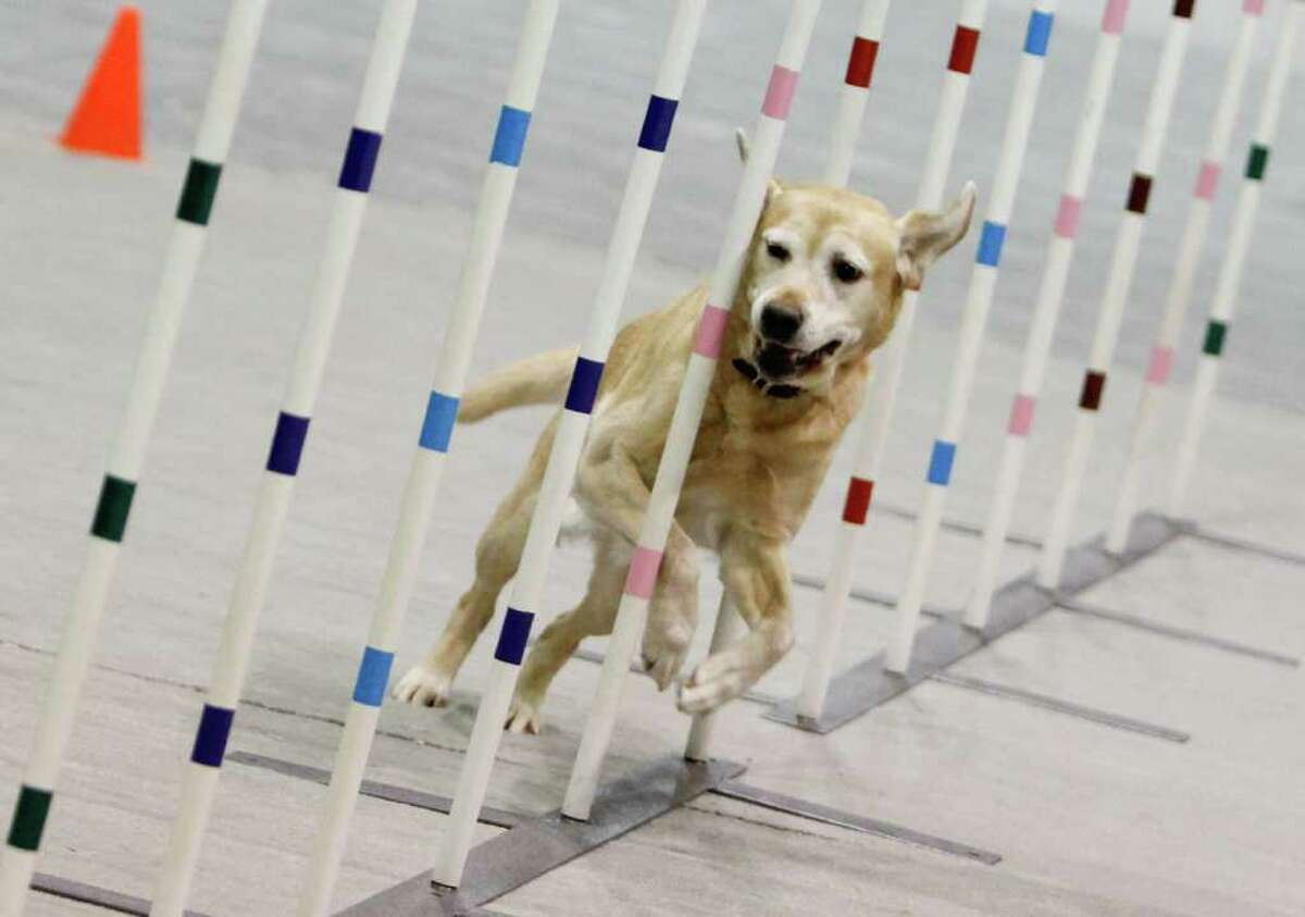 A Labrador named Queen competes in an agility challenge at the 74th Annual Seattle Kennel Club Dog Show at the CenturyLink Field Event Center on Saturday, March 10, 2012. Hundreds of dogs compete in a variety of events ranging from agility and obedience tests to duck herding challenges.