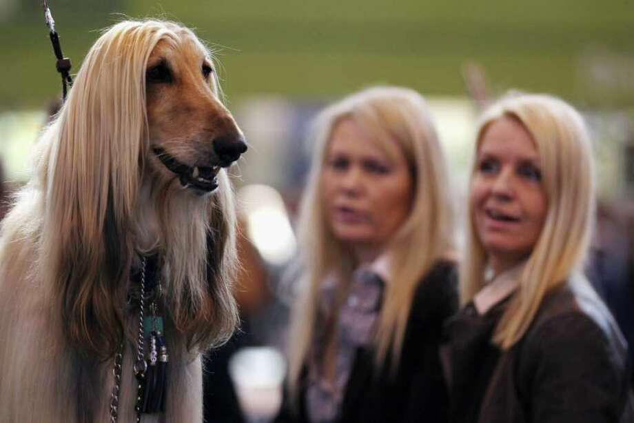 BIRMINGHAM, ENGLAND - MARCH 11:  An Afghan Hound stands on a grooming table during the fourth and final day of Crufts at the Birmingham NEC Arena on March 11, 2012 in Birmingham, England. During the annual four-day competition nearly 22,000 dogs and their owners will compete for a variety of accolades, ultimately seeking the coveted title of 'Best In Show'. Photo: Dan Kitwood, Getty Images / 2012 Getty Images