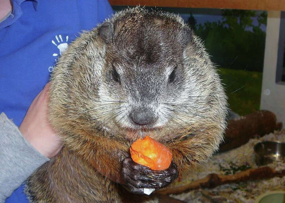 The Lutz Children's Museum announced on Facebook that Connecticut Chuckles VII, Connecticut's groundhog, has died. Photo: Lutz Children's Museum
