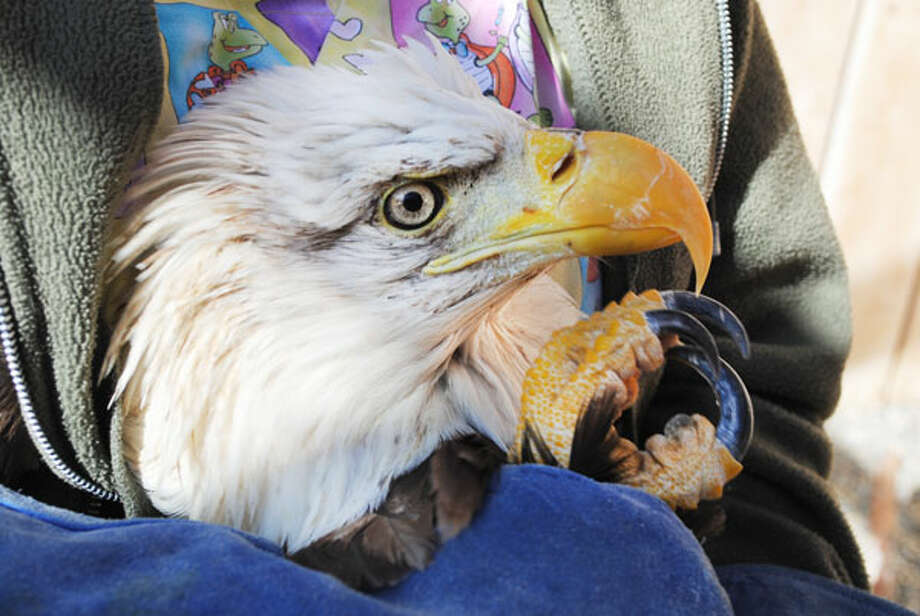 A closeup view of the bald eagle that Washington State University treated for lead poisoning. Photo: Washington State University