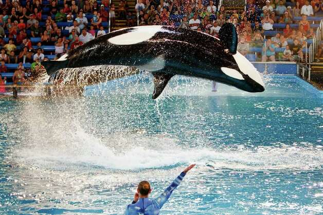 "A killer whale leaps into the air at a trainers command during the new ""One Ocean"" killer whale show at SeaWorld San Antonio on June 10, 2011.  The new show replaces the popular ""Believe,"" a show that enjoyed a five-year run at the park.  Shamu Theater received numerous upgrades for the new show including a three-story set with 32 new soaring fountains, two giant LED screens, a new surround sound system, brilliantly colored lights and an original, contemporary musical score with global rythms.  At the core of the show is the unifying message that both animals and humans are part of one world, with one ocean, and its future is in our hands to cherish and protect.  Photo by Marvin Pfeiffer Photo: Marvin Pfeiffer/Prime Time Newspapers"
