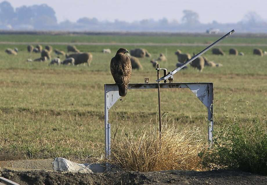 A red-tailed hawk watches sheep graze in a field in the South Delta Water Agency region of San Joaquin County, Calif. on Tuesday, Dec. 6, 2011. Photo: Paul Chinn, The Chronicle